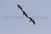 Canada Geese in flight<br /> Larimer County, Colorado