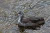 American Coot (fledgling) <br /> North Park, Jackson County, Colorado.