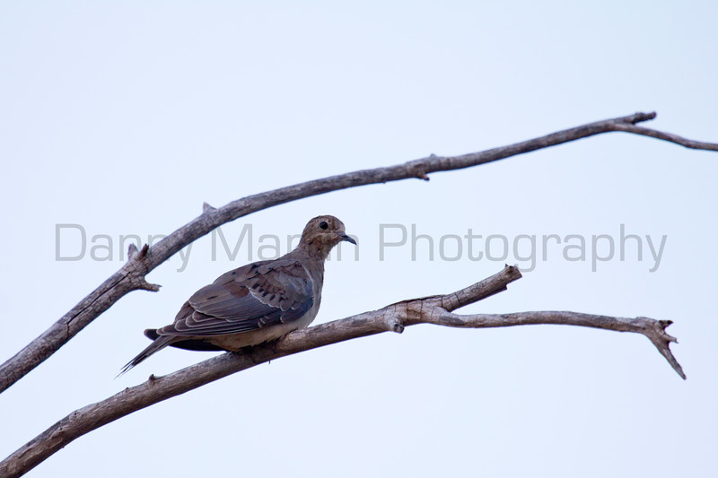 Mourning Dove<br /> Muleshoe National Wildlife Refuge, Bailey County, Texas.