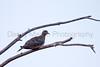 Mourning Dove<br /> Muleshoe National Wildlife Refuge, Bailey County, Texas.