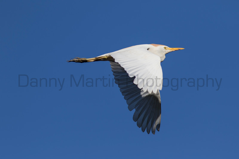 Cattle Egret<br /> Tammany Parish, Louisiana