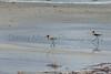 American Avocets<br /> Bailey County, Texas