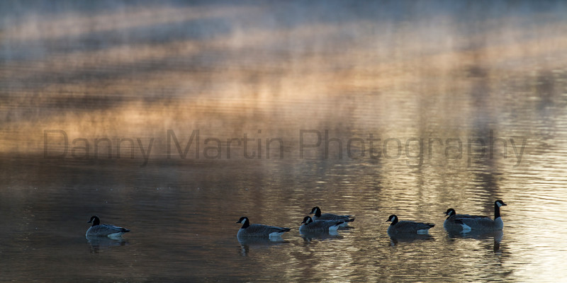 Cackling Geese at sunrise in winter<br /> Larimer County, Colorado