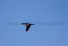 Double-crested Cormorant in flight<br /> Larimer County, Colorado