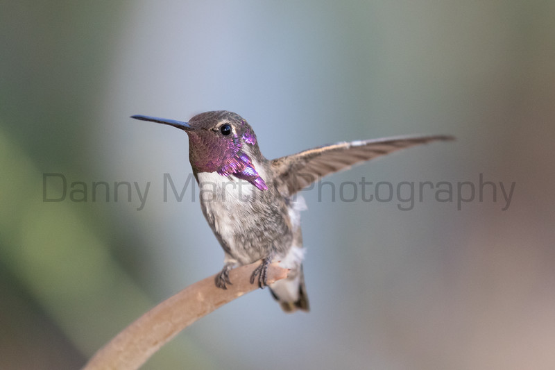Costa's Hummingbird (male)<br /> Pima County, Arizona