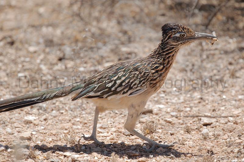 Greater Roadrunner with grasshopper prey<br /> Pima County, Arizona