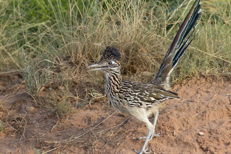 Greater Roadrunner (juvenile)<br /> Briscoe County, Texas