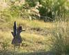 Greater Roadrunner (juvenile)<br /> Briscoe County, Texas.