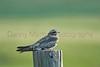 Common Nighthawk<br /> Pawnee National Grassland, Colorado.