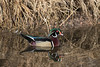Wood Duck drake<br /> Larimer County, Colorado