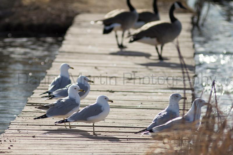 Ring-billed Gulls & Canada Geese loafing on footbridge<br /> Larimer County, Colorado