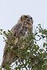 Great Horned Owl<br /> Bailey County, Texas.