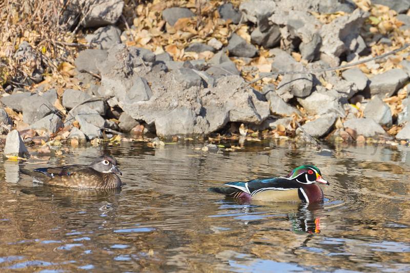 Wood Ducks<br /> Arapahoe County, Colorado.