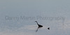 Great Blue Heron & juvenile Pied-billed Grebe<br /> Larimer County, Colorado