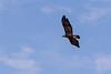Golden Eagle<br /> Pima County, Arizona