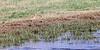 Long-billed Curlew<br /> Rita Blanca National Grassland, Dallam County, Texas.