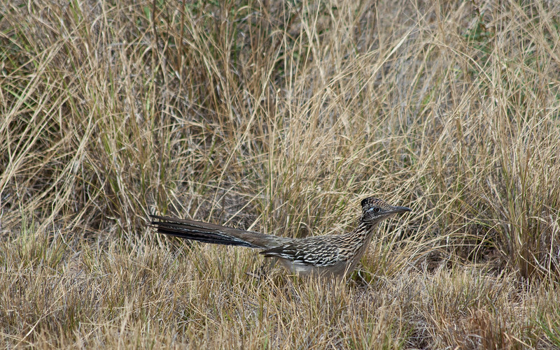 Greater Roadrunner<br /> Brewster County, Texas