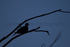 Mourning Dove at dusk<br /> Muleshoe National Wildlife Refuge, Texas