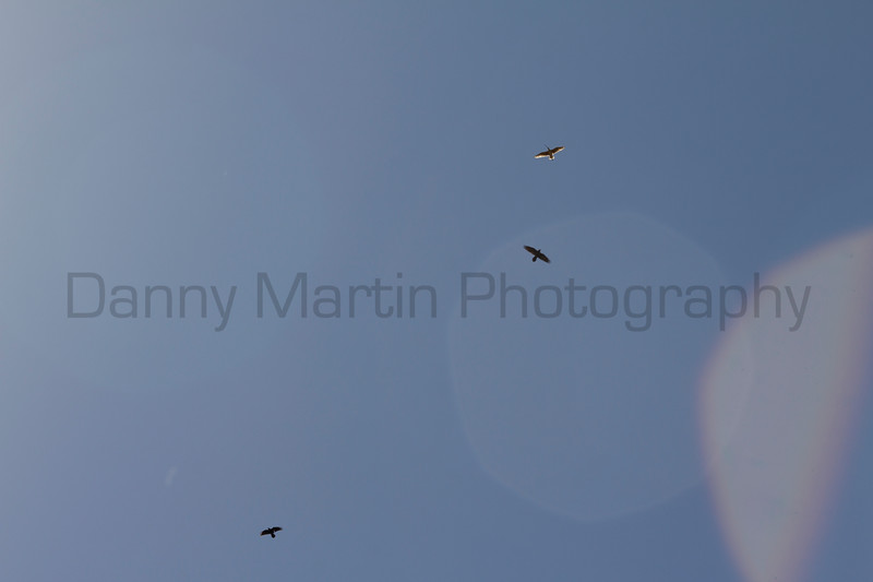 Long-billed Curlew and Ravens in flight.<br /> Kiowa National Grassland, Union County, New Mexico.