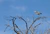 Great Blue Heron<br /> Larimer County, Colorado