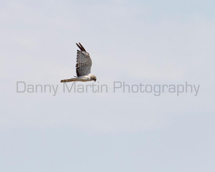 Northern Harrier<br /> Yoakum County, Texas.