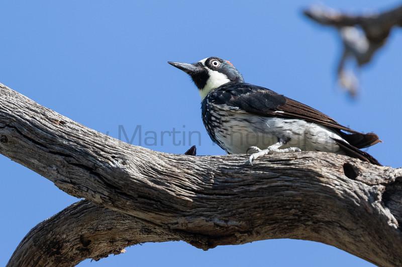 Acorn Woodpecker<br /> Pima County, Arizona