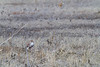 Prairie Falcon eating Black-tailed Prairie Dog<br /> Larimer County, Colorado