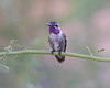 Costa's Hummingbird (subadult male)<br /> Pima County, Arizona