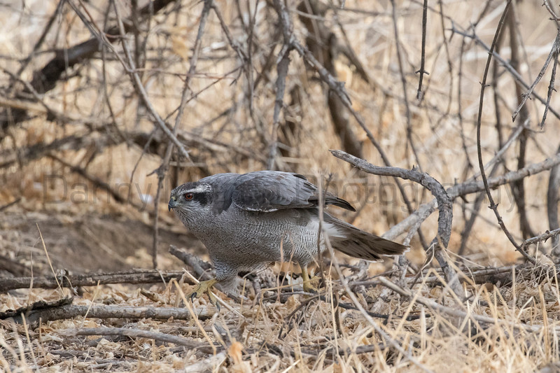 Northern Goshawk running after a cottontail<br /> Larimer County, Colorado