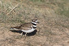 Killdeer<br /> Larimer County, Colorado