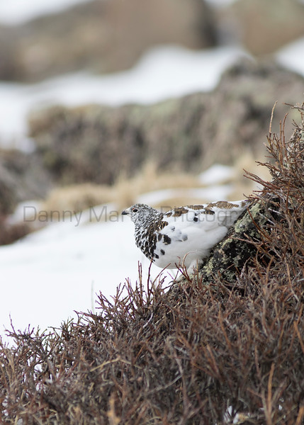 White-tailed Ptarmigan<br /> Clear Creek County, Colorado