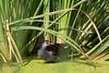Common Gallinule<br /> Pima County, Arizona