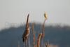 Northern Flicker & Western Meadowlark<br /> Larimer County, Colorado