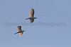 Cattle Egrets in flight, Tammany Parish, Louisiana