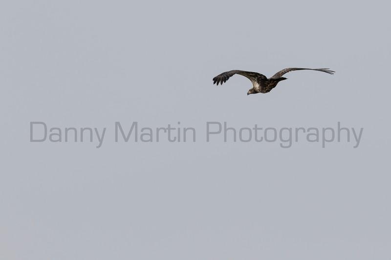 Bald Eagle (immature)<br /> Larimer County, Colorado