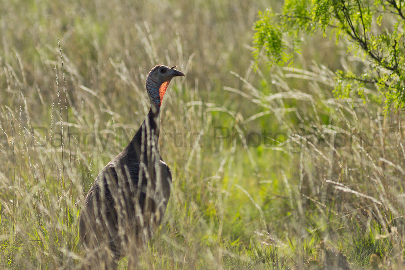 Wild Turkey<br /> Randall County, Texas