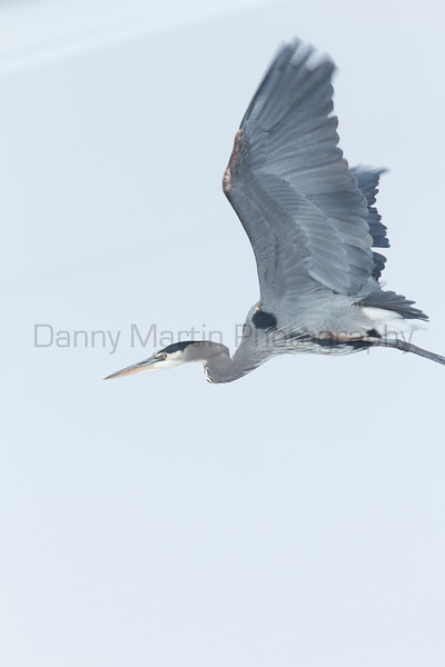 Great Blue Heron flying over frozen pond<br /> Larimer County, Colorado