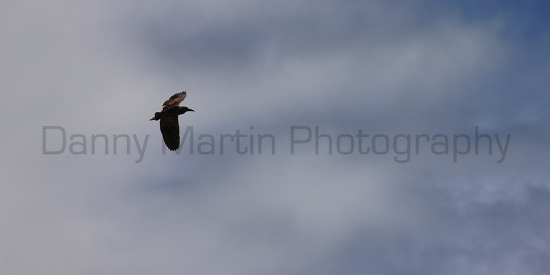 Black-crowned Night Heron<br /> Fort Collins, Colorado