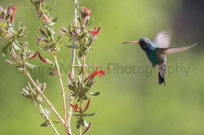 Broad-billed Hummingbird feeding<br /> Pima County, Arizona