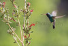 Broad-billed Hummingbird feeding<br /> Pima County, Arizona