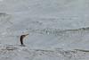 Double-crested Cormorant<br /> Jackson County, Colorado.