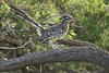 """Greater Roadrunner with Prairie Lizard prey<br /> Randall County, Texas<br /> *This photo was printed on the inside cover in the 2016 Colorado Lottery """"Taking Flight"""" bird calendar."""
