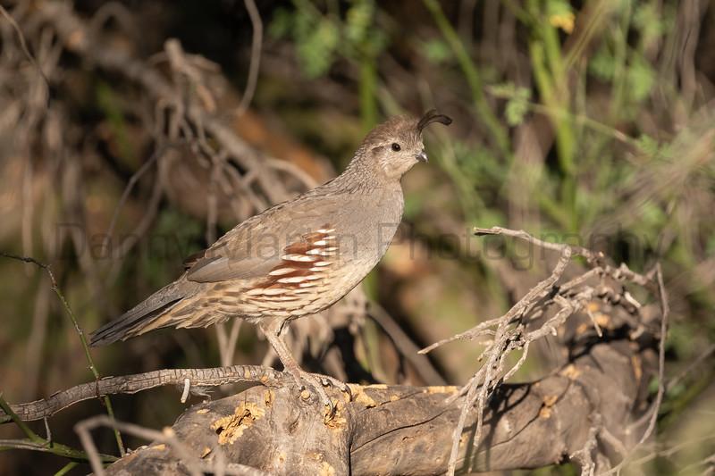 Gambel's Quail (female)<br /> Pima County, Arizona