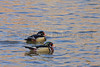 Wood Duck drakes<br /> Arapahoe County, Colorado.