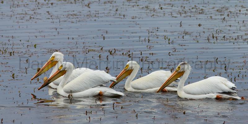 American White Pelicans<br /> Jackson County, Colorado.