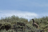 Greater Sage-grouse<br /> North Park, Jackson County, Colorado.
