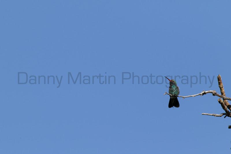 Broad-billed Hummingbird (male)<br /> Pima County, Arizona