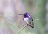 Costa's Hummingbird (male) perched on a Palo Verde<br /> Pima County, Arizona
