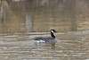 Cackling Goose<br /> Poudre River, Larimer County, Colorado.