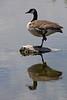 Canada Goose<br /> Boulder County, Colorado